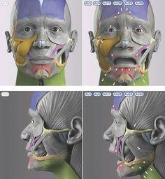Exceptional Drawing The Human Figure Ideas. Staggering Drawing The Human Figure Ideas. Facial Anatomy, Head Anatomy, Anatomy Poses, Anatomy Study, Body Anatomy, Anatomy Drawing, Anatomy Art, Anatomy Reference, Hight Light