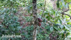 Cocoa fruit (almost ready to harvest)