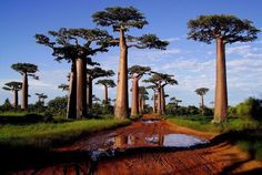 Kingdom Plantae, Turgor pressure Madagascar   Baobab trees store up to 32,000 gallons in their swollen trunks to survive the sometimes harsh drought conditions in which they must survive.