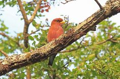 Broad-billed Roller, Sakania, DRC, via Flickr.