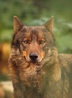 "I had a dog who looked a lot like this, only less ""wolfy."" Her name was Woofie."