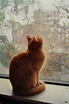 Orange cat at window Orange Cats, White Cats, Black Cats, Neko, Sleepy Cat, Cat Boarding, Ginger Cats, Domestic Cat, Cats And Kittens