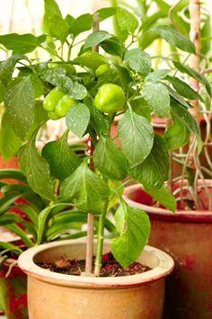 El Cultivo Del Pimiento En Maceta Huerta En Macetas Cultivo Del Pimiento Cultivo De Plantas