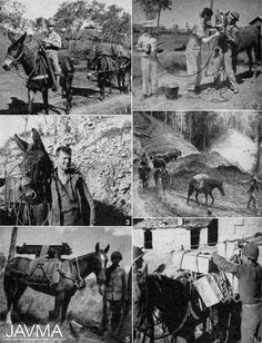 A September 1944 photo spread from JAVMA shows mules and horses in the theater of World War II (clockwise from top left) from New Guinea to Australia to Burma to Italy. https://www.avma.org/News/JAVMANews/Pages/151001d.aspx?utm_source=pinterest&utm_medium=socmed&utm_campaign=vethistory
