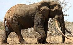 Poachers Have Killed the Biggest, Most Loved Wild Elephant in the World. Satao roamed the Tsavo East National Park in Kenya for some 45 years until 30 May 2014 when ivory poachers left him dead in a heap on the muddy ground with his face hacked off. Pinned with a heavy heart.