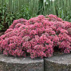 Summer Bulbs, Summer Plants, Summer Garden, Sun Garden, Sedum Ground Cover, Purple Clematis, Butterfly Weed, Full Sun Plants, Tulip Bulbs