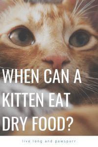 When Can A Kitten Eat Dry Food In 2020 Cat Questions Kittens Kitten Food