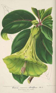 Angel's Trumpet, Datura albidoflava Lemaire, 1857. Solanaceae. From L' Illustration horticole, Lithograph Stroobant, Ghent. Missouri Botanical Garden. Via plantillustration.org