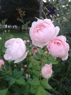 """fairykid: """" i sat by these roses today, they remind me of pearls """" Flower Garden Pictures, Home Garden Design, David Austin Roses, Growing Roses, Love Rose, Flower Fairies, My Secret Garden, Beautiful Roses, Trees To Plant"""