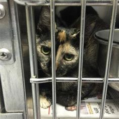 Crossposting to save lives: Bridget: Beautiful calico stray is running out of time at Concord kill shelter