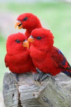 x-enial: Red Lories