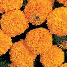 Flower Seed, Marigold, African, Dwarf, Marigold Inca II Orange F1