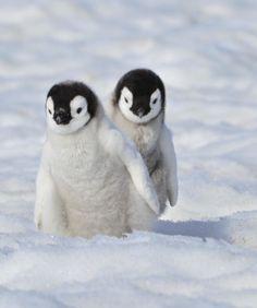 Two cute baby Emperor Penguins Cute Little Animals, Cute Funny Animals, Cute Dogs, Penguin Pictures, Cute Animal Pictures, Cute Penguins, Tier Fotos, Pet Birds, Animals Beautiful