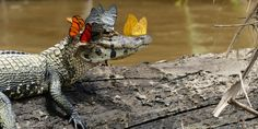 This Tiny Alligator Doesn't Care It's Surrounded by Butterflies