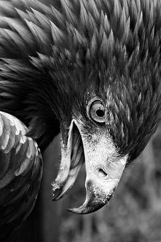 Golden Eagle by J B Hildebrand on Flickr.