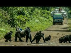 Silverback Gorilla Stands In The Middle Of The Road To Block Traffic So His Family Can Safely Cross Congo, Big Gorilla, Planet Earth Ii, Silverback Gorilla, Family World, The Calling, Funny Vines, Animal Totems, Entertainment
