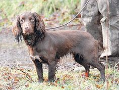 Some cracking dog work at the 2014 #Cocker #Spaniel Championship - report and photos by David Hudson
