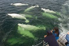 """Beluga Whales, Churchill, Manitoba -  They have been called """"ocean canaries"""" because these white beluga whales seem to sing like birds when you hear them underwater. And you can do just that in Hudson Bay, near the tiny town of Churchill, Manitoba, Canada. Each summer, thousands of belugas come to the bay to molt. You can snorkel with the whales (you'll need to go out with an outfitter, who will provide a dry suit to keep you warm), or view them by boat or kayak."""