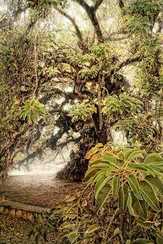 Ombú - Phytolacca dioica  Es una planta arborescente nativa de la Pampa argentina y uruguaya. Pese a su tronco grueso y su gran porte (alcanza una altura de 10 a 15 m, con una amplia copa y grandes raíces visibles) es discutido si es un árbol, un arbusto o una hierba gigante; quienes científicamente aducen que es una hierba gigante... Su nombre es una voz guaraní que significa sombra o bulto oscuro