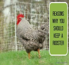 Keep the Rooster- good reasons to have a rooster in the flock