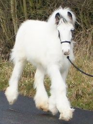 fluffy white gypsy vanner horse - gorgeous!