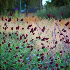 "Jelle Grintjes on Instagram: ""Sanguisorba'Pieters' , Persicaria'Rowden Gem' and large groups of the grassmix; Calamagrostis ' Karl Foerster' , Calamagrostis brachytricha…"""