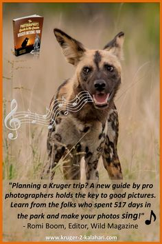 Wild Dogs of the Kruger National Park - one of Africa's most endangered mammal species, which are not easy to find in the Kruger Park! Park Photography, Photography Guide, Wildlife Photography, Kruger National Park, National Parks, African Wild Dog, Apex Predator, Wild Dogs, Self Driving