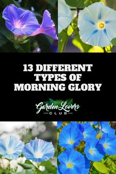 I love the way that morning glories make my garden look. There are well over different varieties of the plant, and each species looks unique. Morning Glory Plant, Blue Morning Glory, Morning Glory Flowers, Morning Glories, Planting Flowers, Flower Gardening, Container Gardening, Gardening Tips, Outdoor Flowering Plants