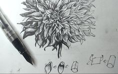 Dahlia drawing with a fountain pen