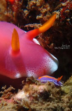 Catch me if you can--Hypselodoris bullocki looking over a Pectenodoris trilineata