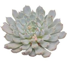 Echeveria Texensis - Mayesh Wholesale Florists - Search our Flower Library