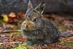 Aatu rabbit by Ulla Hohti, Jämsä Finland /yle.fi