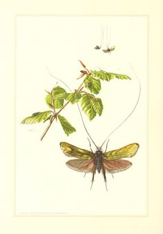 1956 Adelidae or Fairy Longhorn Moths Green by CabinetOfTreasures