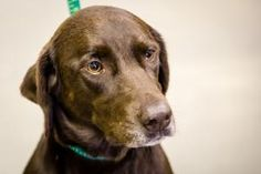 Kit Kat is an adoptable Labrador Retriever Dog in Union, MO. I am a beautiful and gentle lost girl.My coat is a shiny chocolate brown with a small white star on my chest.� I� know how to sit and love ...