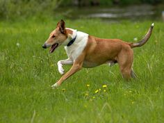 Smooth Collie dog photo | Smooth Sable Collie | dogs