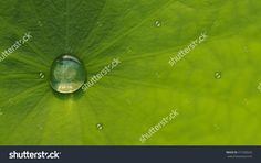 Water Droplets On Lotus Leaf Stock Photo 477283633 : Shutterstock