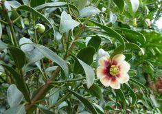 Clusia (Clusia rosea): Descrição, Cultivo, Paisagismo, Uso Ornamental