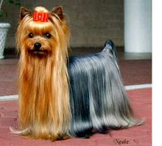 From Westminister Kennel Club  Yorkshire Terrier in full show coat