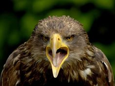 Young Eagle  Photograph by Jacky Gerritsen