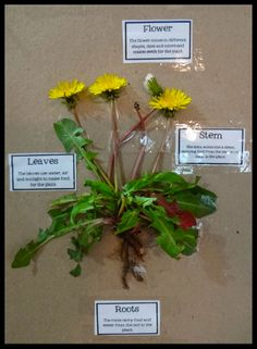 Science! Labeling the parts of a dandelion. The kids loved how hands-on this was!