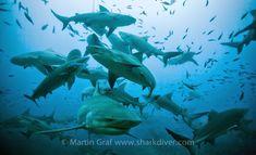 34 Best Fiji Bull Shark Diving with www sharkdiver com
