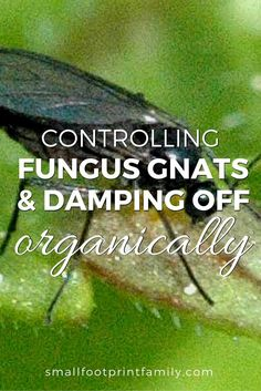 Fungus gnats and damping-off can seriously harm growing seedlings. But the solution to controlling fungus gnats is safer and cheaper than you would expect. Click to learn how to stop them.    #garden #gardening #organicgarden #permaculture #homesteading #urbangarden