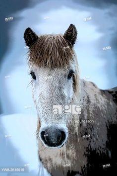 Portrait of Icelandic Horse, Iceland. © Ragnar Th. Sigurdsson / age fotostock - Stock Photos, Videos and Vectors