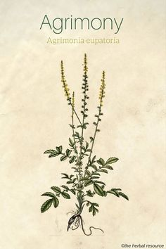 Healing Remedies Agrimony Agrimonia eupatoria - Information on the side effects and benefits of the medicinal herb agrimony (Agrimonia eupatoria) and its common and health uses as tea and extract Natural Home Remedies, Herbal Remedies, Health Remedies, Herbal Plants, Medicinal Plants, Natural Herbs, Natural Healing, Herbal Medicine, Natural Medicine