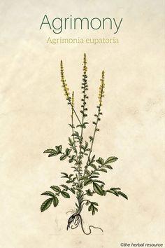 Agrimony Agrimonia eupatoria