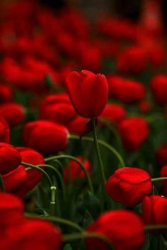 field, thoughts, color, red flowers, red roses, nature photography, red tulip, tulips, garden