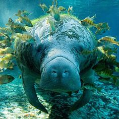 "Manatees are large, fully aquatic, mostly herbivorous marine mammals sometimes known as sea cows. The Amazonian manatee (Trichechus inunguis), the West Indian manatee (Trichechus manatus), and the West African manatee (Trichechus senegalensis). They measure up to 13 feet (4.0 m) long, weigh as much as 1,300 pounds (590 kg),and have paddle-like flippers. The name manatí comes from the Taíno, a pre-Columbian people of the Caribbean, meaning ""breast"""