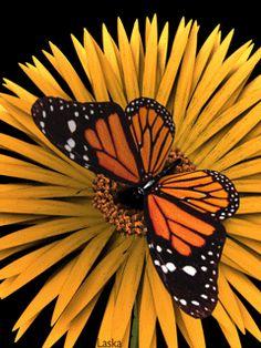 Beautiful Butterfly in Slow Motion (gif)