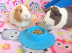 Wondering how to keep your guinea pig fleece bedding cage clean and fr – Wheeky Pets - We love our customers and their pets! Pet Guinea Pigs, Emotional Support Animal, Cute Little Animals, Small Animals, Simple Rules, Cage, Nutrition, Cleaning, Pets