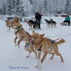 Aufgeregte finnische Huskys direkt vor dem Start zu einer kurzen Schlittenfahrt. Ein tolles Erlebnis in der einmalig verschneiten Natur Lapplands.